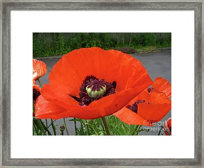 Framed Print featuring the photograph Red Poppy by Barbara Griffin
