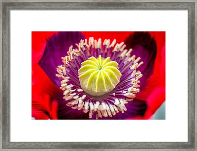 Framed Print featuring the photograph Red Poppy. by Gary Gillette