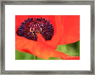 Red Poppy Framed Print by Linda Bianic