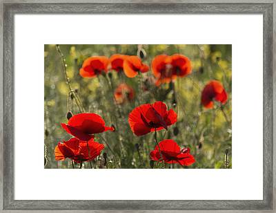 Red Poppy _papaver Rhoeas__ Upper Rhine Framed Print by Carl Bruemmer