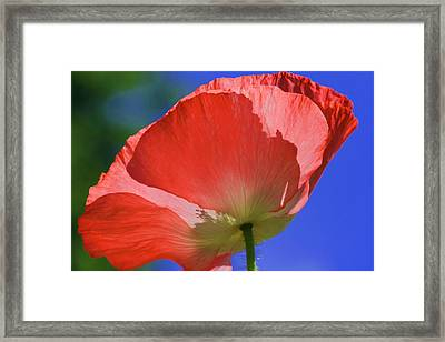 Red Poppy Framed Print by Rebeka Dove