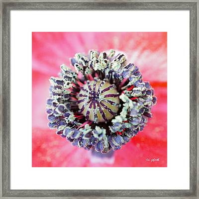 Red Poppy Squared Framed Print by TK Goforth