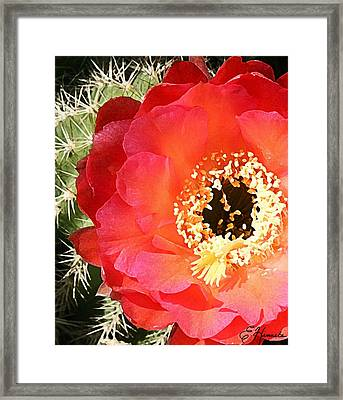 Red Prickly Pear Blossom Framed Print