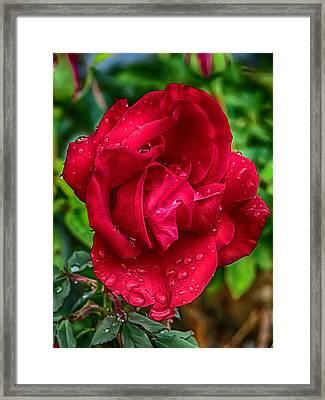 Red Red Rose Framed Print by John Haldane