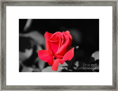 Red Red Rose - Sc Framed Print