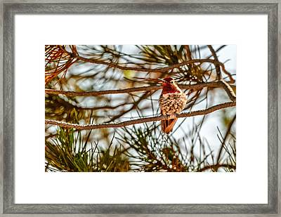 Red Rock Country Hummingbird Framed Print by Bob and Nadine Johnston