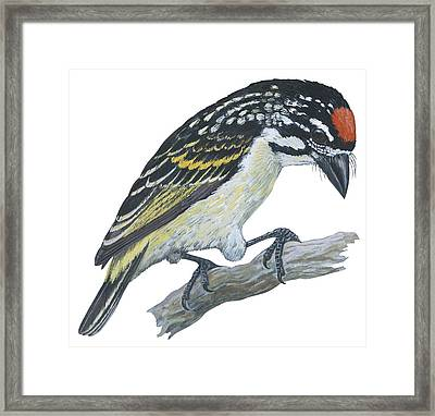 Red Ronted Tinkerbird Framed Print by Anonymous