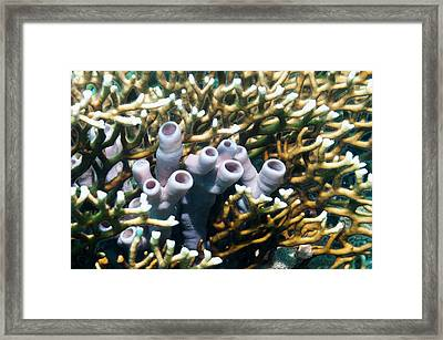 Red Rope Sponge On A Reef Framed Print by Georgette Douwma