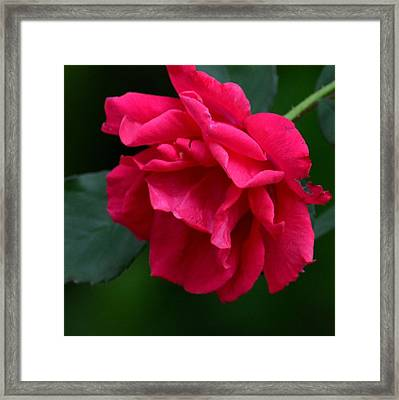 Red Rose 2013 Framed Print by Maria Urso