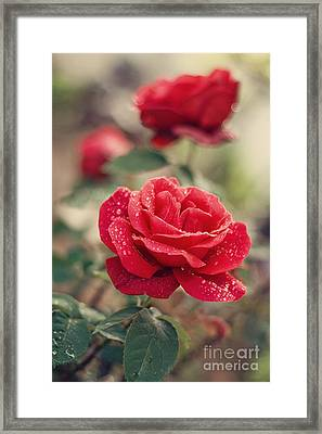 Red Rose After Rain Framed Print