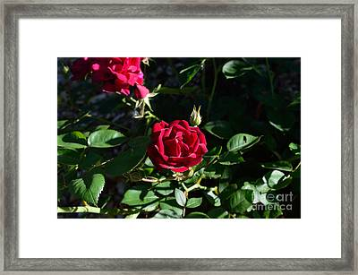 Red Rose At Dawn Framed Print by Alys Caviness-Gober