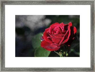 Red Rose Dark Framed Print