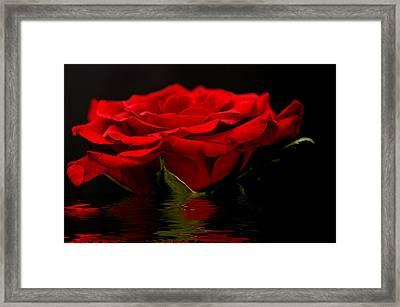 Red Rose Flood Framed Print by Steve Purnell