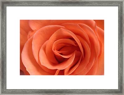 Red Rose Floribunda Closeup Framed Print