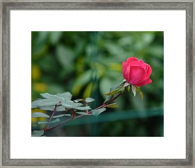 Framed Print featuring the photograph Red Rose I by Lisa Phillips