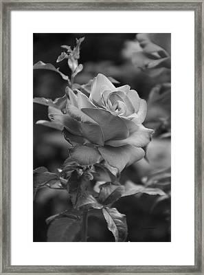 Red Rose In Bw Framed Print