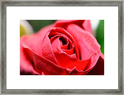Red Rose Framed Print by Ivelin Donchev