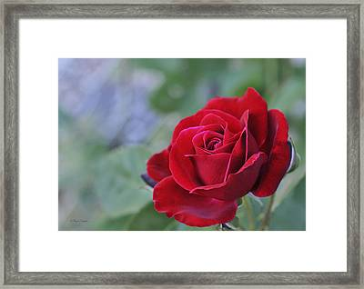 Red Rose Light Framed Print