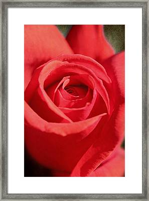Red Rose Framed Print by Lorella  Schoales