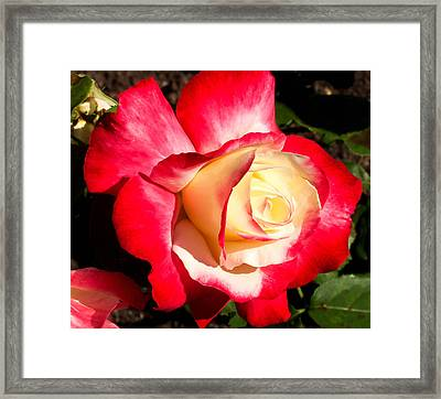 Red Rose Framed Print by Margaret Buchanan