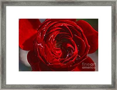 Red Rose Framed Print by Nur Roy