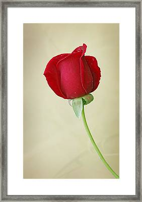 Red Rose On White Framed Print by Sandy Keeton