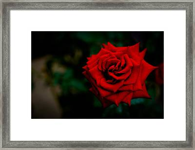 Red Rose Singapore Flower Framed Print by Donald Chen