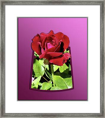 Red Rose Framed Print by Thomas Woolworth