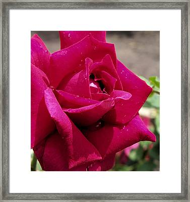 Red Rose Up Close Framed Print by Thomas Woolworth