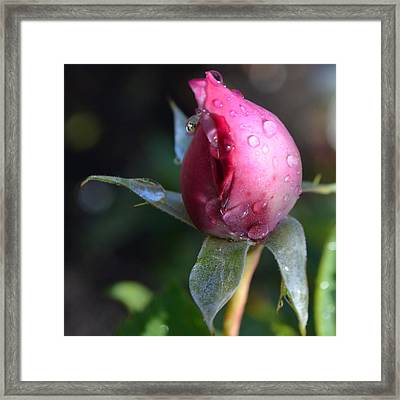 Red Rose With Dew 1.1 Framed Print by Cheryl Miller