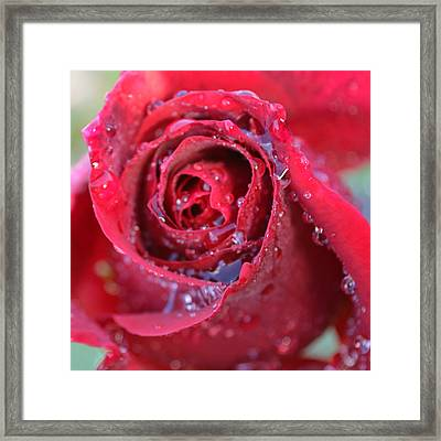 Red Rose With Dew 1.2 Framed Print by Cheryl Miller