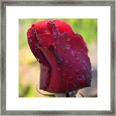 Red Rose With Dew 1.4 Framed Print by Cheryl Miller