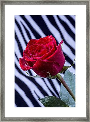Red Rose With Stripes Framed Print by Garry Gay