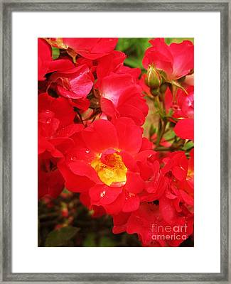 Red Roses And Raindrops Framed Print