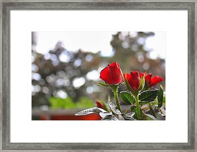 Red Roses Framed Print by Daniel Precht