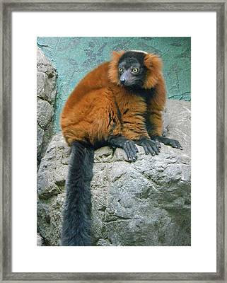 Red Ruffed Lemur Framed Print by Emmy Marie Vickers