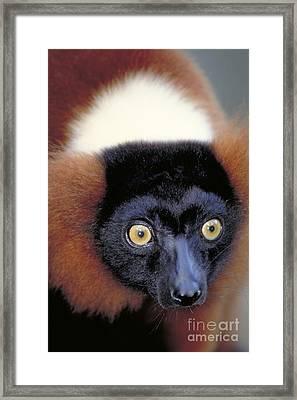 Red Ruffed Lemur, Madagascar Framed Print by Art Wolfe