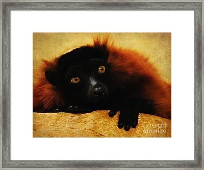 Red Ruffed Lemur Framed Print by Olivia Hardwicke