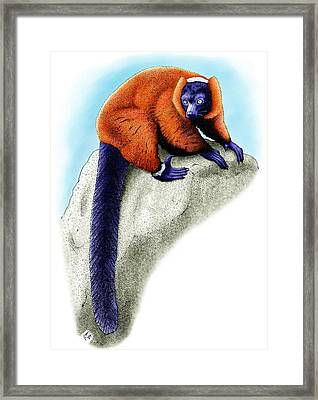 Red Ruffed Lemur Framed Print by Roger Hall