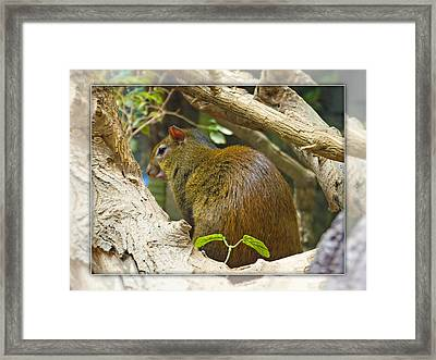 Red-rumped Agouti Framed Print