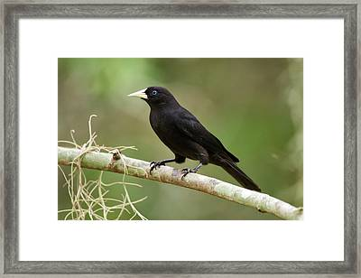 Red-rumped Cacique Cacicus Haemorrhous Framed Print by Leonardo Mer�on