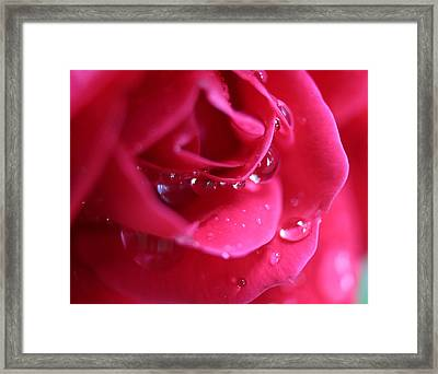 Red Scented Rose Framed Print