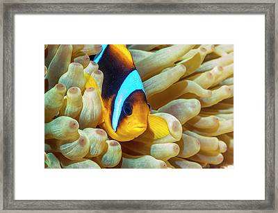 Red Sea Anemonefish Framed Print by Georgette Douwma