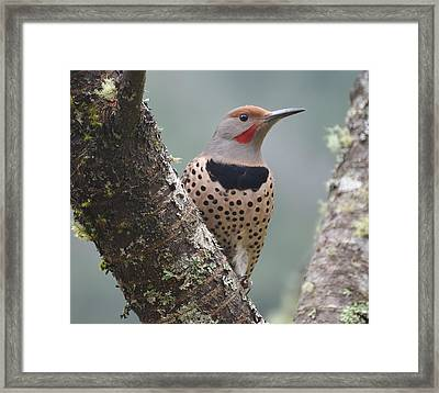 Red Shafted Flicker Viii Framed Print