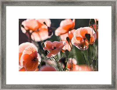 Red Shirley Poppies Framed Print by Maria Mosolova