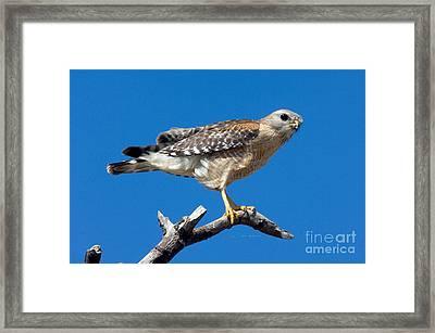 Red-shoulder Hawk Framed Print by Anthony Mercieca