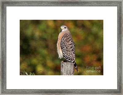 Red-shoulder Hawk Framed Print by Jennifer Zelik