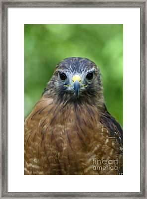 Red-shoulder Hawk Framed Print by Mark Newman