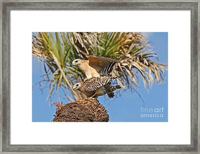 Red-shoulder Hawks Framed Print by Jennifer Zelik