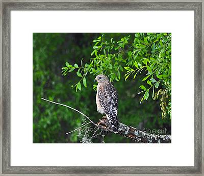 Red-shouldered Hawk Framed Print by Al Powell Photography USA